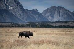 Einziger Bison mit großartigem Tetons stockfoto