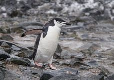 Einziger Chinstrap-Pinguin in der Antarktis lizenzfreie stockbilder