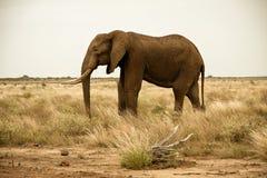 Einziger Elefantstier im Scrubland Stockbilder