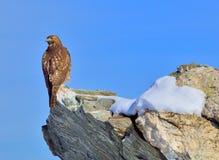 Einziger Falke auf einem Felsen Stockfotos