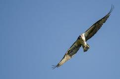 Einziger Fischadler, der direkten Blickkontakt beim Fliegen in blauen Himmel aufnimmt Stockfotografie