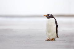 Einziger Gentoo-Pinguin (Pygoscelis Papua) auf einem verlassenen weißen Sand Stockfotografie