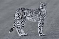 Einziger Gepard, der über Straße an der Dämmerung geht Lizenzfreie Stockfotos
