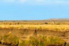 Einziger Guanaco in der Steppe Stockbild