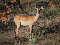 Einziger Impala Lizenzfreie Stockbilder