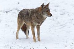 Einziger Kojote in einer Winterlandschaft Lizenzfreie Stockfotos