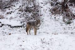 Einziger Kojote in einer Winterlandschaft Lizenzfreies Stockfoto