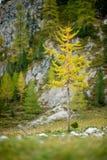 Einziger Lärchenbaum in der gelben Herbstfarbe Stockbilder