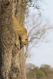 Einziger Leopard, der schnellen Abstieg ein hoher Baumstamm in Natur duri klettert Lizenzfreie Stockfotos