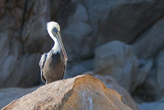 Einziger männlicher Pelikan hockte auf Pelikan-Felsen in Cabo San Lucas Baja Mexiko Stockbilder