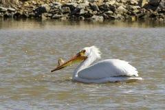 Einziger Pelikan, der auf den Fluss schwimmt Lizenzfreie Stockfotografie