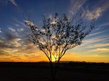 Einziger Süßhülsenbaum-Baum bei Sonnenuntergang Stockbild