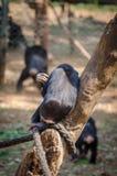 Einziger Schimpanse, der auf Baum sitzt und mit zurück zu Zuschauer, Sierra Leone, Afrika sich umarmt Lizenzfreie Stockfotos