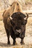 Einziger Stier-Bison Lizenzfreie Stockbilder
