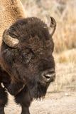 Einziger Stier-Bison Lizenzfreies Stockbild