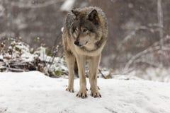 Einziger Timberwolf in einer Winterszene Stockbild