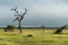 Einziger toter Baum in der grünen afrikanischen Savanne stockbilder