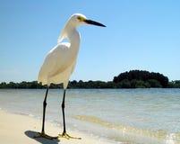 Einziger weißer Reiher auf sandigem Florida-Strand -3 Stockfotografie