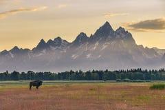 Einziger weiblicher Bison, der auf einem bunten Gebiet vor dem großartigen Tetons bei Sonnenuntergang steht stockbild