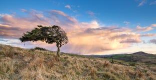 Einziger windswept Baum auf macht bei Sonnenuntergang fest Lizenzfreie Stockfotografie