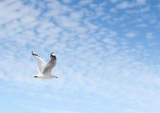 Einziges Seemöwenfliegen durch blauen Himmel mit Wolkenbildungen mag Linien von Rohbaumwollebällen Stockfotos