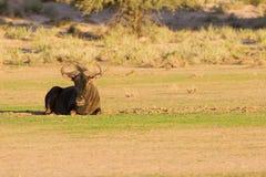 Einziges Streifengnu, das auf einer Wanne im Kalahari stillsteht Lizenzfreies Stockfoto