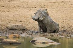 Einziges Warzenschwein, das im Schlamm spielt, um weg abzukühlen Stockbild