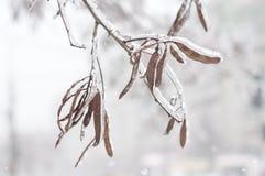 Eis auf Niederlassungen nach einem Schneeregen Stockbilder