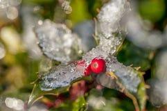 Eis auf Stechpalmenbusch stockbild