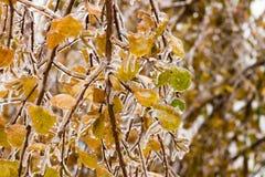 Eis-bedeckter Niederlassungsbaum mit mehrfarbigen Blättern nach Eisregen Stockbild