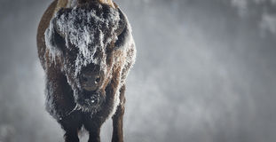 Eis-Bison Stockbilder