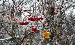 Eis-glasig-glänzende rote Beeren auf dornigem Busch Lizenzfreie Stockbilder