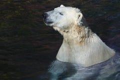Eis-oder polarerbär Stockbild