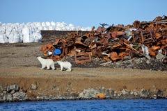 Eisbärüberleben in der Arktis Stockbilder
