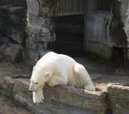 Eisbär lizenzfreies stockbild