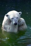 Eisbär Lizenzfreie Stockfotografie