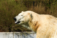Eisbär A Stockfotos