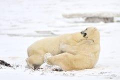 Eisbär Stockfoto