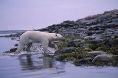Eisbär Lizenzfreie Stockbilder