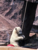 Eisbär Cub Stockfotos
