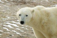 Eisbär in der Arktis Lizenzfreie Stockfotos