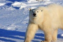 Eisbär, der auf den arktischen Schnee geht Stockbild
