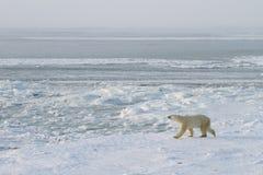 Eisbär, der auf Eis geht Stockbild