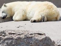Eisbär, der auf Felsen snoozing ist Stockfotografie