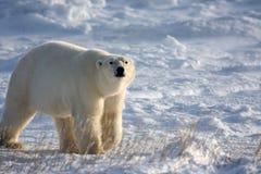 Eisbär, der die Luft schnüffelt Stockfotos
