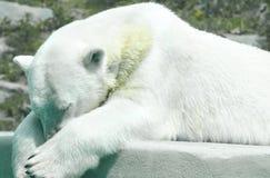 Eisbär, der ein Schläfchen hält Stockfotografie