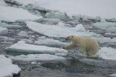 Eisbär, der in eine Arktis geht Lizenzfreies Stockbild