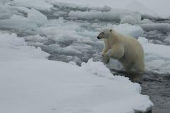 Eisbär, der in eine Arktis geht Stockfotografie