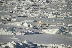 Eisbär, der in eine Arktis geht Stockbild