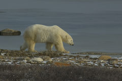 Eisbär, der am Rand des Wassers geht Lizenzfreie Stockbilder